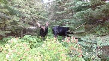 Moose in Isle Royale Naitnal Park